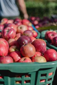 Äpfel im Keller lagern