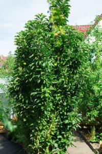 Säulenapfelbaum im Kleingarten