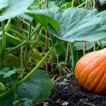 Gartenkürbis anbauen