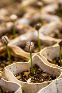 Hybrid Samen F1 kaufen oder samenfeste Sorten