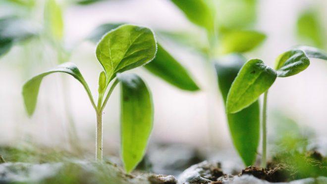 Hybridpflanzen oder Samenfeste Sorten kaufen