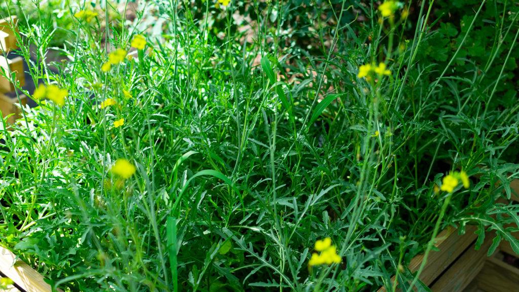 Rucola im Garten säen