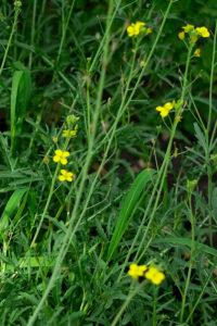 Rucola im Blumenkasten anbauen