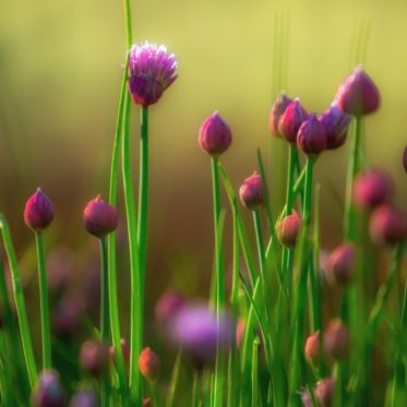 Schnittlauch anbauen anpflanzen