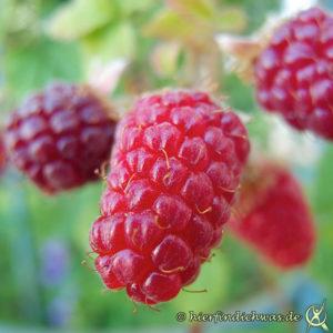 Tayberry im Garten anbauen